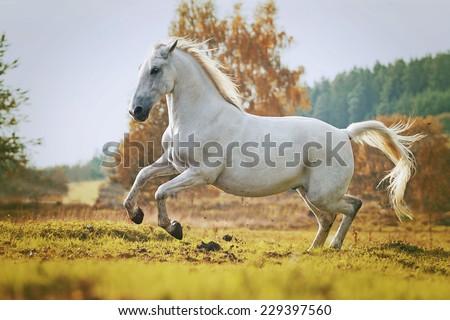 arabian horse stallion running in nature sunset - stock photo