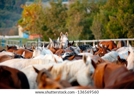 arabian horses in stud - stock photo