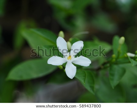 Arabian jasmine white angel flower coral stock photo royalty free arabian jasmine white angel flower coral swirl beautiful white little flower mightylinksfo