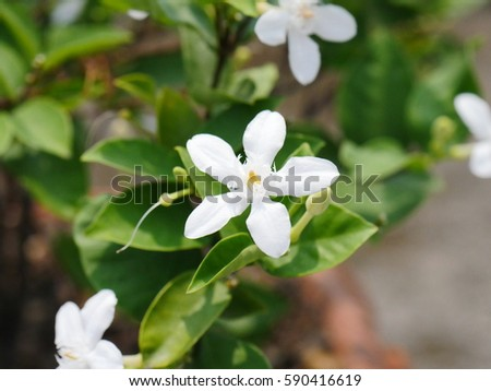 Arabian jasmine white angel flower coral stock photo safe to use arabian jasmine white angel flower coral swirl beautiful white little flower mightylinksfo