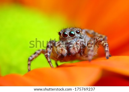 Arabian jumping spider close up with the orange flower background
