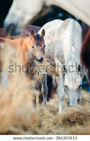 Arabian mare with foal eating hay outdoor - stock photo