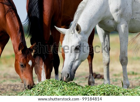 Arabian mares white foal eating grass in field - stock photo