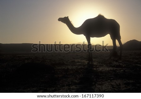Arabian or Dromedary camel, Camelus dromedarius, single mammal against sunset, Oman