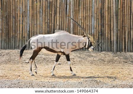 Arabian Oryx in a natural habitat - stock photo