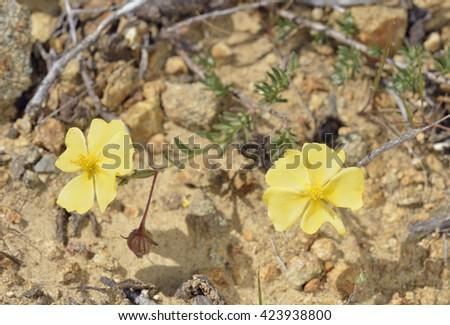 Arabian Rock-rose - Fumana arabicaYellow Cistaceae Flower - stock photo