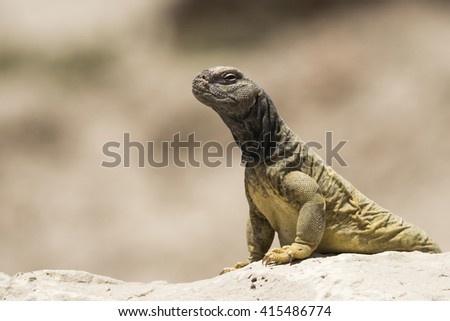 Arabian spiny tailed lizard in hot desert - Bahrain