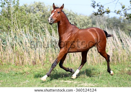 Arabian stallion runs gallop across summer meadow - stock photo