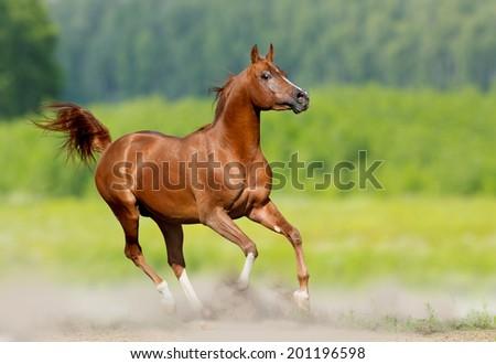 arabian stallion runs in nature - stock photo