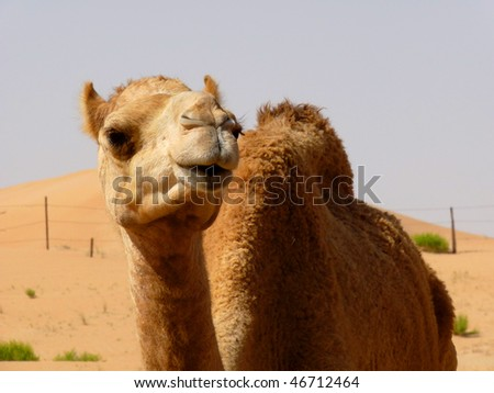 Arabian Young Camel - stock photo