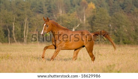 arabian young horse running in field - stock photo
