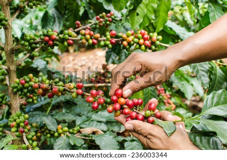 arabica coffee berries with agriculturist hands - stock photo