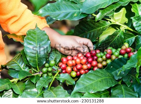 Arabica Coffee berries with kid hands - stock photo
