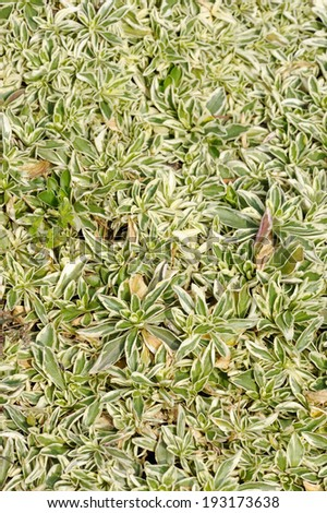 Arabis fern, groundcover plant, decorative texture in the garden - stock photo