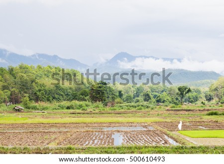 Arable farming rice. Planted area near the mountain. A cottage in the paddy fields.