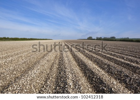 arable landscape with the patterns and textures of potato rows on the chalky limestone soil of the yorkshire wolds under a hazy blue sky