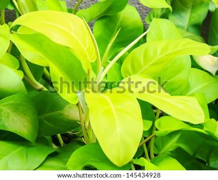 ARACEAE ,Philodendron,  Philodendron cv. Lemon Lime - stock photo