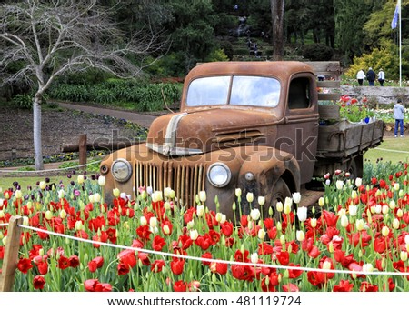 Araluen, Australia - September 8, 2016:  Old Ford Pick Up Truck in a bed of tulips at the Araluen Tulip Festival 2016