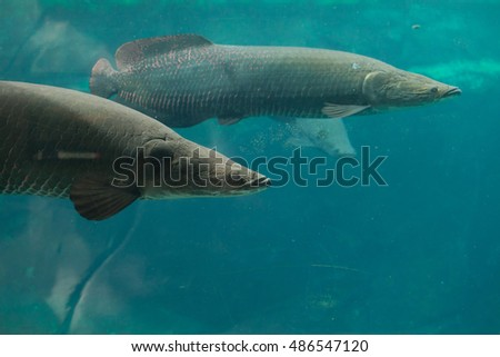 Arapaima (Sudis gigas), also known as the pirarucu. Wildlife animal.