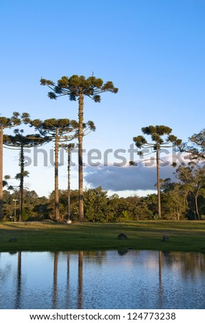 Araucaria angustifolia - Gramado - Brazil - stock photo