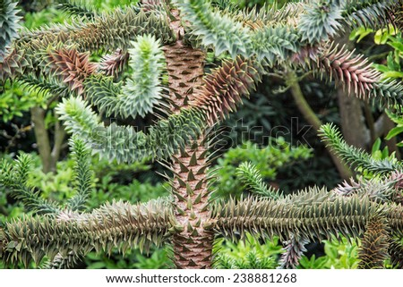 Araucaria araucana (commonly called the Monkey puzzle tree, Monkey tail tree, Chilean pine, or Pehuen). - stock photo