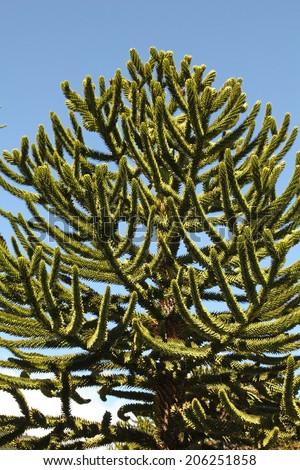 Araucaria (Araucaria araucana) trees in Bio bio Park (Chile) - stock photo
