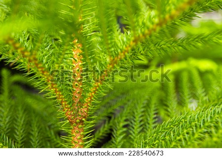 Araucaria pine tree  for  indoor and outdoor garden decoration and nature background
