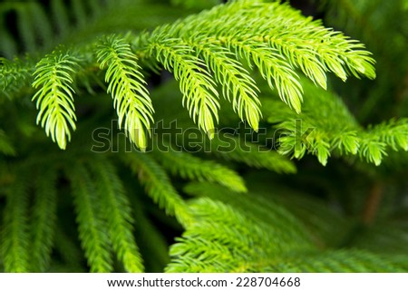 Araucaria pine tree  for  indoor and outdoor garden decoration and nature background - stock photo