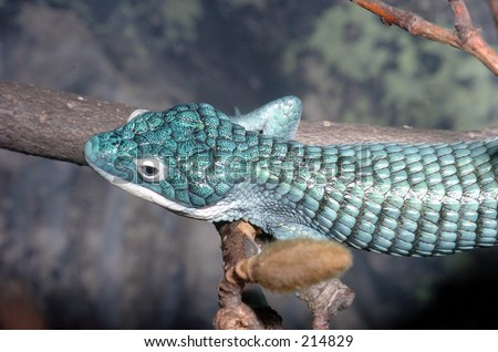 Arboreal Alligator Lizard view from above - stock photo