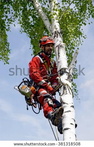 Arborist saws birch chainsaw at height - stock photo