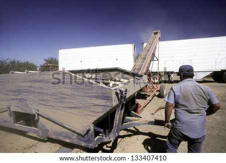 ARBUCKLE, CALIFORNIA - CIRCA AUGUST 1989: Harvesting Almond nuts near Arbuckle, California circa August 1989. The nuts are put in a hopper with rotating metal bars looking like very large drill bits.