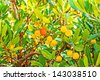 Arbutus, red, yellow fruits and green leafs - stock photo