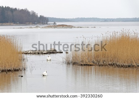 Archipelago in peaceful morning light, two swans and reed straw during the spring - stock photo