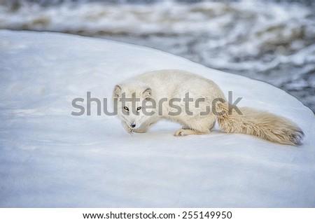 Arctic fox, digital oil painting - stock photo