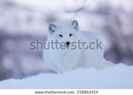 Arctic fox in wild snowy landscape in Scandinavia - stock photo