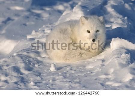 Arctic fox lying on Arctic tundra - stock photo