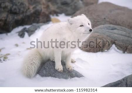 Arctic fox sitting on rock - stock photo