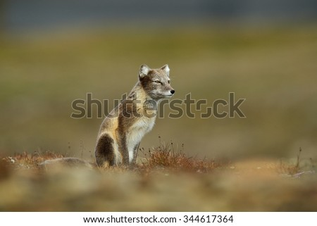 Arctic Fox, Vulpes lagopus, in the nature habitat, grass meadow with flowers, Svalbard Norway,  - stock photo