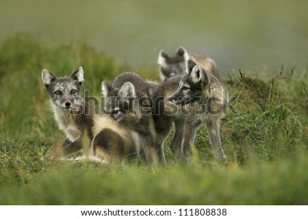 Arctic foxes sitting on the field