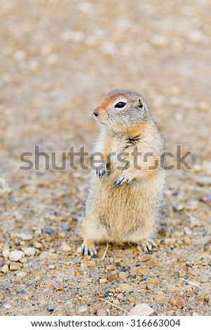Arctic Ground Squirrel (Spermophilus parryii) out looking around at the Arctic Circle stop along the Dempster Highway - stock photo