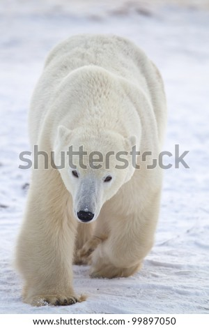 Arctic polar bear walks toward camera - stock photo