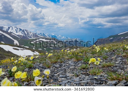 Arctic poppies in the mountains of Central Asia