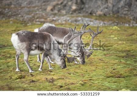 Arctic reindeers - stock photo