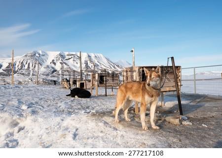 Arctic sled dogs, Longyearbyen, Svalbard - stock photo
