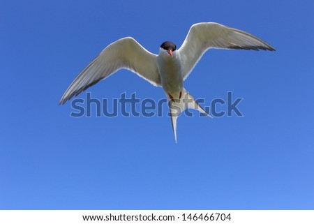 arctic tern in flight over the cliffs