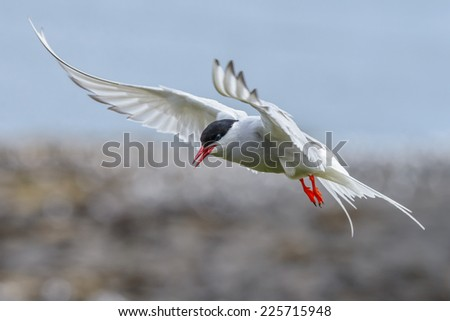 Arctic Tern (Sterna paradidisaea) in a threat posture over its nest. Shot over cliffs, seen in the background. Horizontal format with copy space. - stock photo