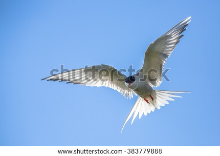 Arctic tern (Sterna paradisaea) defending its nesting site. This bird migrates from the Arctic to the Antarctic enjoying both summers. - stock photo