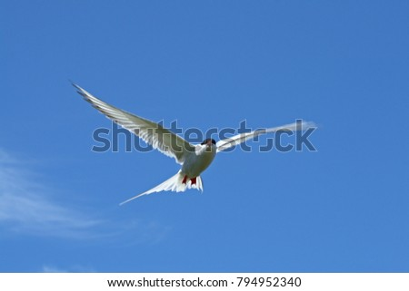 Arctic Tern (Sterna paradisaea) - in flight