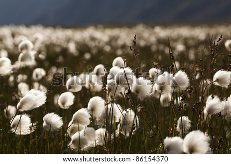 Arctic tundra plain with cottongrass, Greenland
