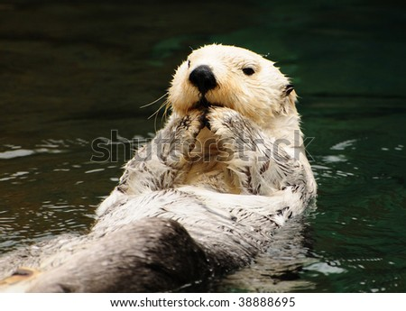 Arctic tundra white otter eating fish with contempt in water - stock photo